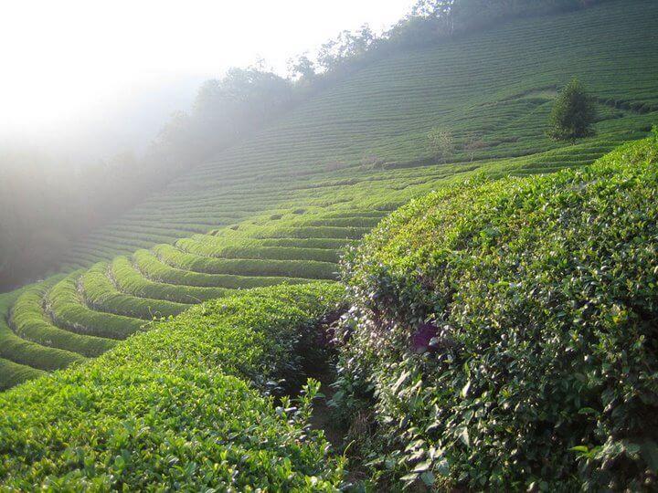 LAHIJAN TEA PLANTATION 2
