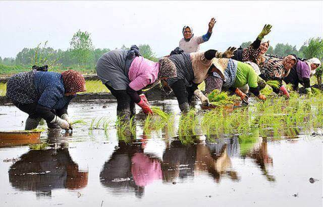 RASHT RICE CULTIVATION 1