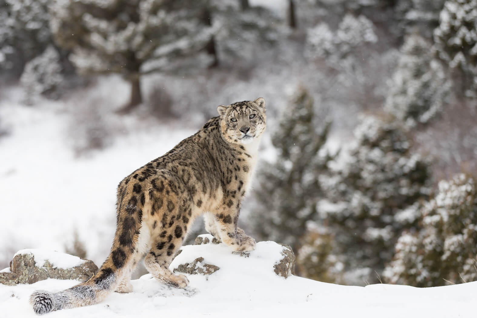Snow Leopards of Central Asia | Silk Road Adventures